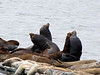 Eumetopia jubatus, Northern Sea Lion and Phoca vitulina, Harbor Seal, Crescent City Harbour