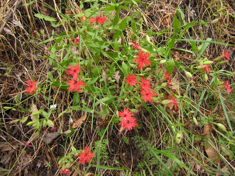 Silene californica,  near South Fork Road, West of Jedidiah Smith SP, California