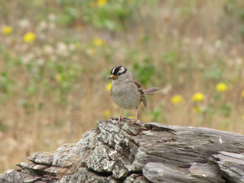 Zonotrychia leucophrys, White-crowned Sparrow (Humboldt Lagoon SP, California)