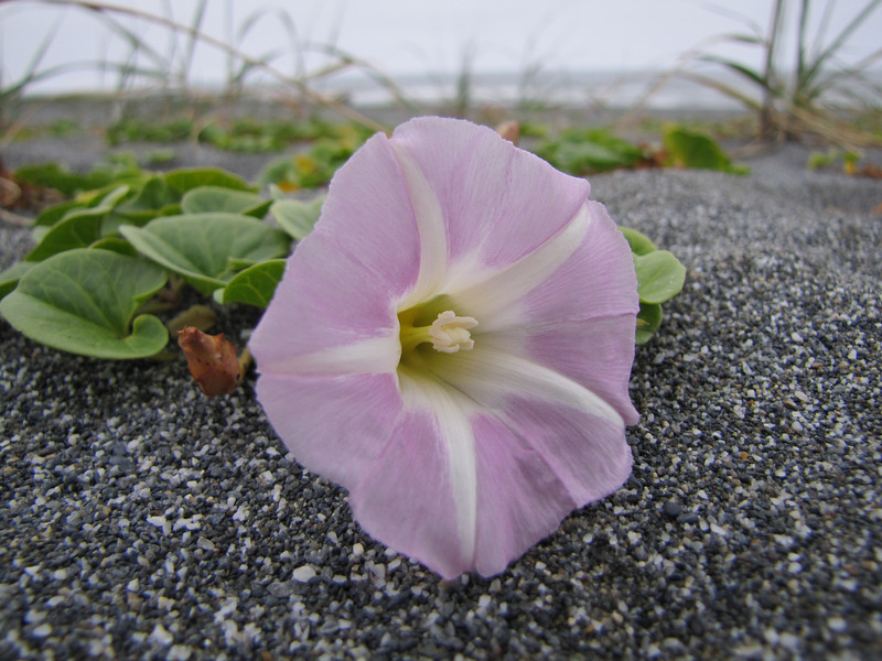 Calystegia soldanella (Humboldt Lagoon SP, California)