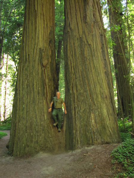 Sequoia sempervirens (Avenue of the Giants, Humboldt Redwoods State Park) (photo Kees Jan)