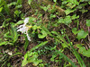 Iris douglasiana?, white form (Bruce Lyon Memorial Grove, Prairie Creek SP, California)