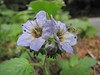 Phacelia bolanderi (Bruce Lyon Memorial Grove, Prairie Creek SP, California)
