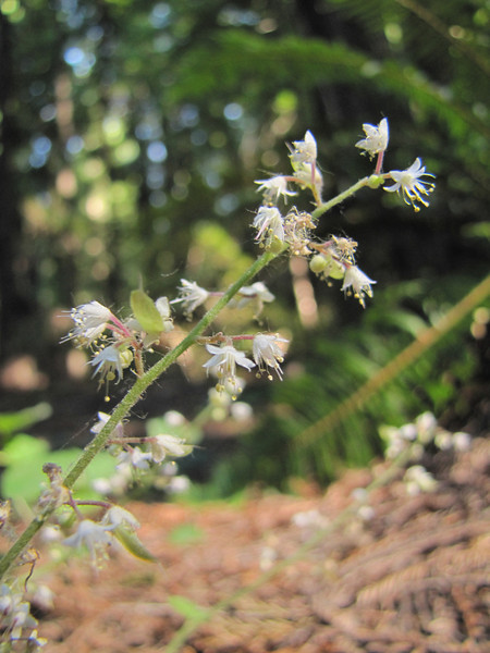 Tiarella trifoliata var. unifoliolata (Avenue of the Giants, Humboldt Redwoods State Park)