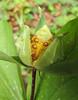 Trillium ovatum in seed (Bruce Lyon Memorial Grove, Prairie Creek SP, California)
