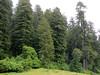 Sequoia sempervirens (Prairie Creek SP, southern part, California)