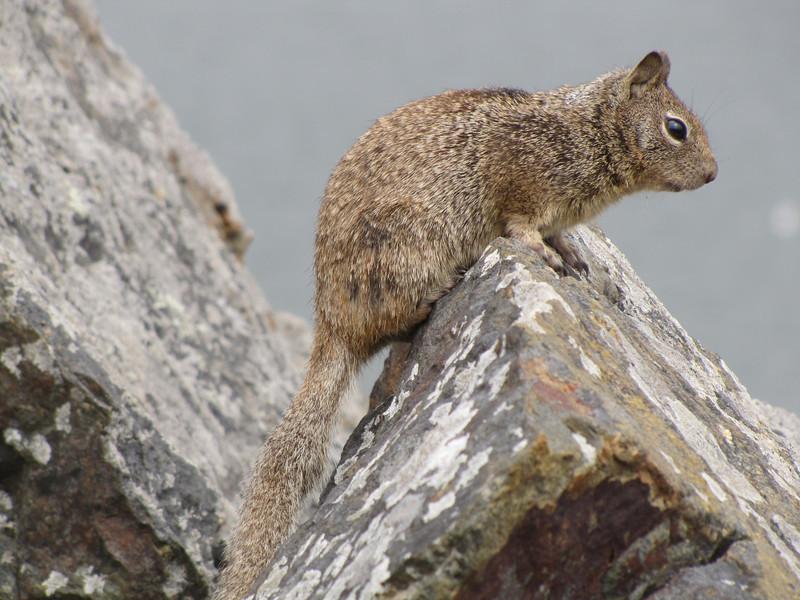Sciurus griseus, Western Grey Squirrel, Crescent City Harbour