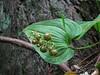 Maianthemum dilatatum in fruit (Prairie Creek SP, southern part, California)