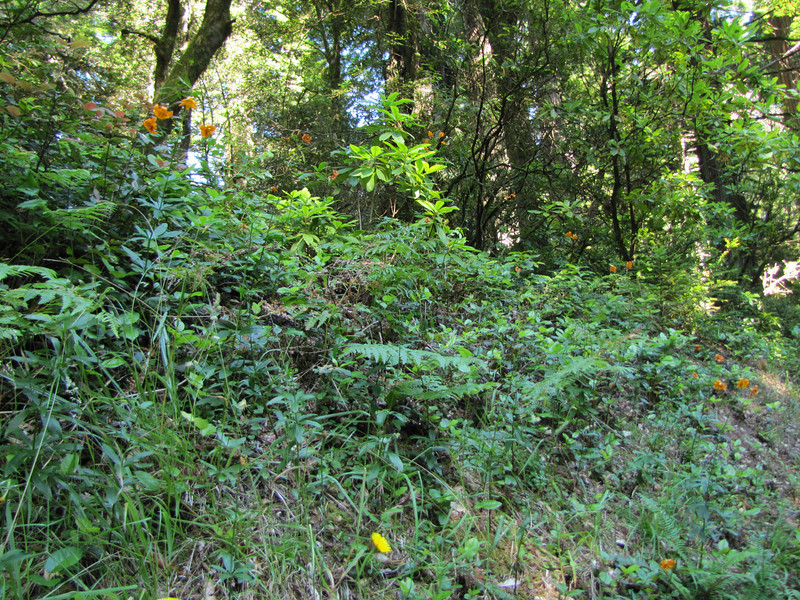 habitat with Lilium columbianum (Redwood National Park, northern part, California)