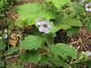 Phacelia bolanderi (Bruce Lyon Memorial Grove, Prairie Creek SP, California)