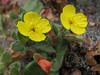 Camissonia spec. (Humboldt Lagoon SP, California)