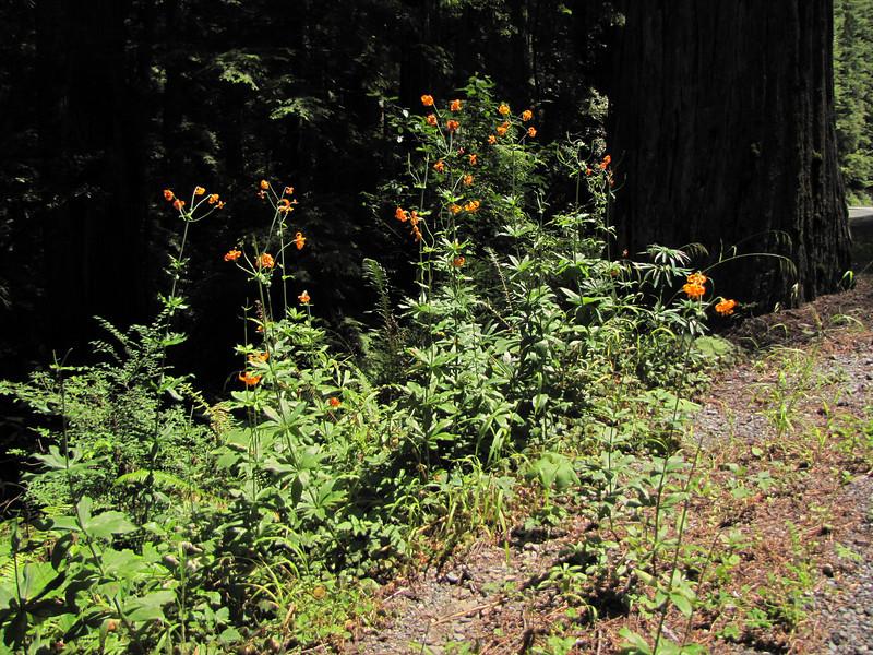 Lilium columbianum (Del Norte Redwood SP, south of Crescent City, California)