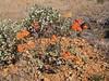 Eriogonum umbellatum var. polyanthum, West of Jedidiah Smith SP, California