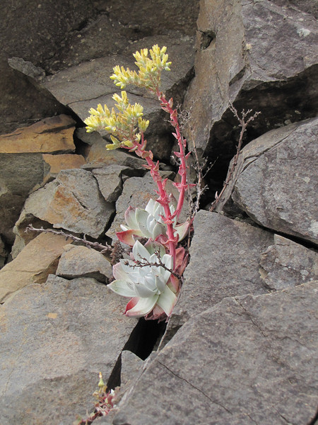 Dudleya farinosa (South of Crescent City, California)