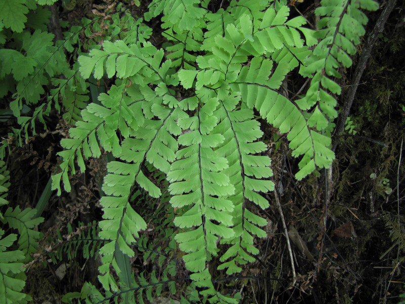 Adiantum aleuticum (Howland Hill Road, Jedediah Smith SP, California)