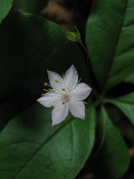 Trientalis borealis ssp. latifolia (Bruce Lyon Memorial Grove, Prairie Creek SP, California)