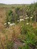 Achillea millefolium (Humboldt Lagoon SP, California)