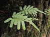 Polypodium spec. (Del Norte Redwood SP, south of Crescent City, California)