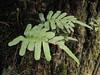 Polypodium spec. (Del Norte Redwood SP, south of Crescent City, California)