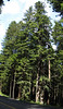 Sequoia sempervirens (Del Norte Redwood SP, south of Crescent City, California)