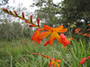 Crocosmia spec. (not native) (South Africa) South of Crescent City