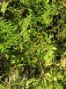 Vaccinium parvifolium? (Howland Hill Road, Jedediah Smith SP, California)