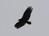 Cathartes aura, Turkey Vulture (South of Crescent City, California)