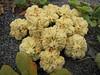 Glehnia littoralis ssp. leiocarpa (Humboldt Lagoon SP, California)