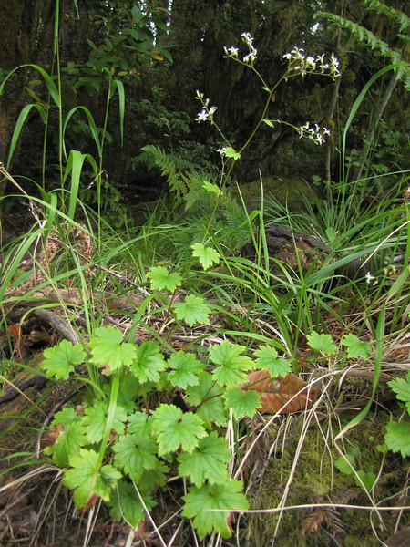 Boykinia occidentalis (Smith River near Howland Hill Road, Jedediah Smith SP, California)