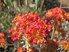Eriogonum umbellatum var. polyanthum, West of Jedidiah Smith SP, California