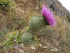 ?? Cirsium, (South of Crescent City, California)