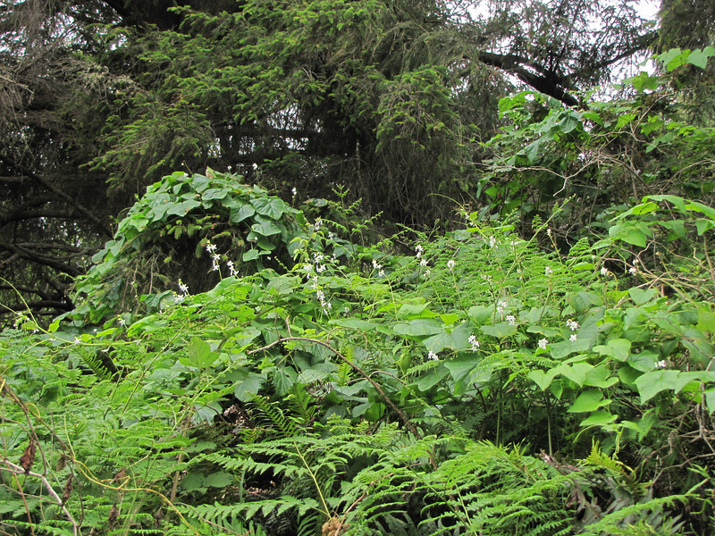 habitat with Marah oreganus (Humboldt Lagoon SP, California)