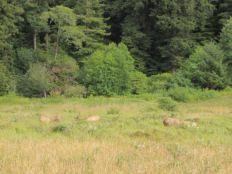 Cervus elaphus ssp. roosevelti, Roosevelt Elk - the largest of the Elk subspecies (Prairie Creek Redwoods State Park, Southern part - California