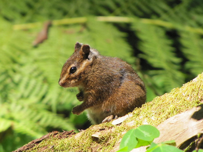 Tamias spec., Chipmunk (Avenue of the Giants, Humboldt Redwoods State Park)