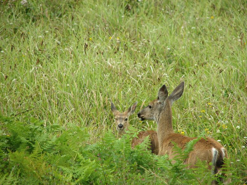 Odocoileus hemionus, Black-tailed Deer (syn. Mule Deer) Near Prairie Creek Campground in Prairie Creek SP