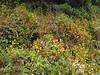 Mimulus aurantiacus (Humboldt Lagoon SP, California)