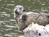 Phoca vitulina ssp. richardii, Harbor Seal (Humboldt Lagoon SP, California)