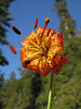 Lilium pardalinum? (Howland Hill Road, Jedediah Smith SP, California)