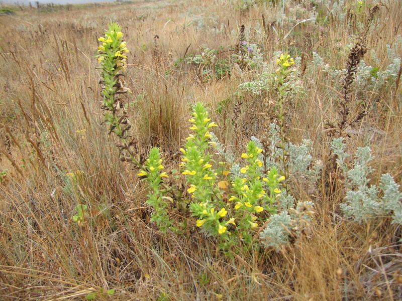 Parentucellia viscosa (Humboldt Lagoon SP, California)