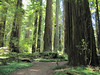Sequoia sempervirens (Avenue of the Giants, Humboldt Redwoods Statespark)