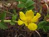 Potentilla anserina ssp. pacifica (Humboldt Lagoon SP, California)