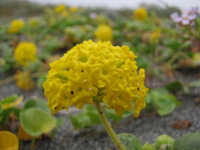 Abronia latifolia (Humboldt Lagoon SP, California)