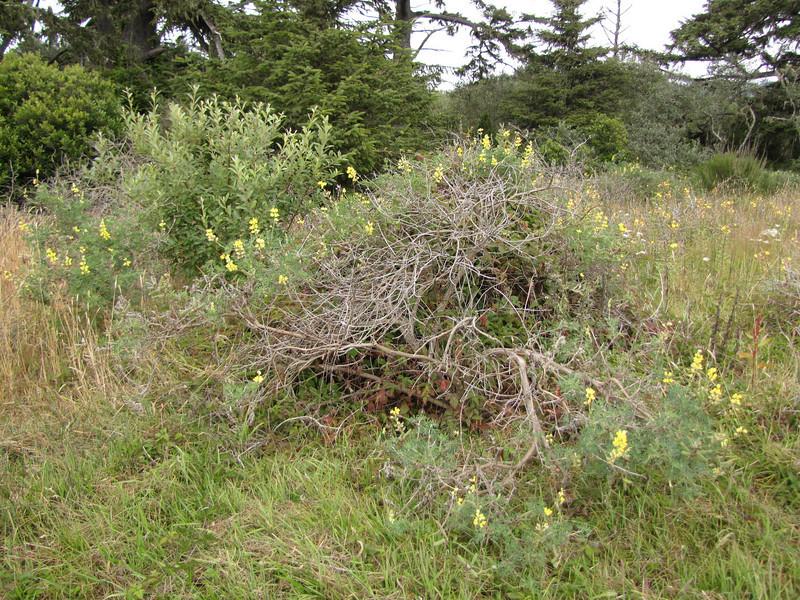 Lupinus arboreus, South of Crescent City
