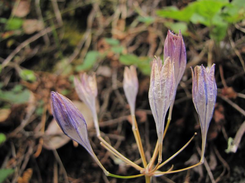 Brodiaea coronaria, near South Fork Road, West of Jedidiah Smith SP, California