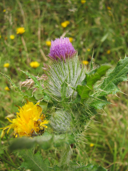 Cirsium brevistylum (Near Klamath, north of Orick, California)