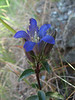 Gentiana calycosa (Howland Hill Road, Jedediah Smith SP, California)