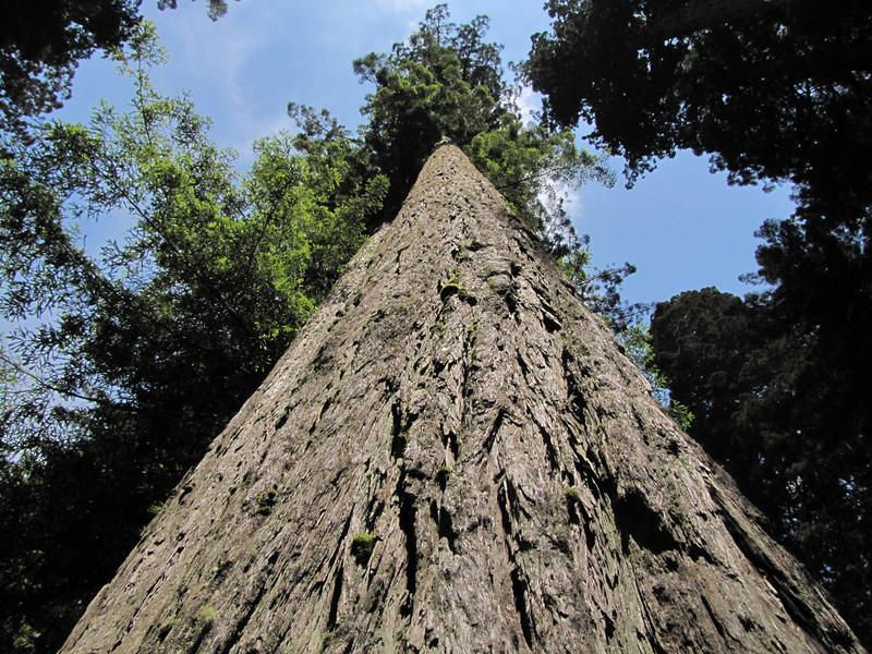 Sequoia sempervirens (Del Norte Redwood SP, south of Crescent City, California)