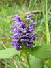 Prunella vulgaris (nonnative, European) Howland Hill Road, Jedediah Smith SP, California)