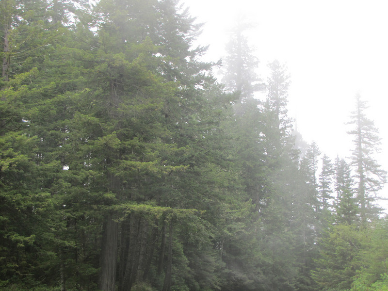 scud / mist from the Pacific, Sequoia sempervirens (Del Norte Redwood SP, south of Crescent City, California)