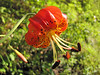 Lilium pardalinum? (Howland Hill Road, Jedediah Smith SP, California)